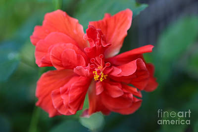 Photograph - Colors Of The Tropics Hibiscus by Carol Groenen