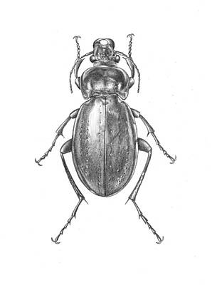 Beetle Drawing - Colosma Beetle by Logan Parsons
