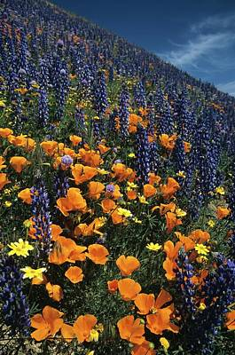 Colossal California Wildflowers Art Print