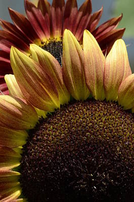 Photograph - Sunflower Selfies by Cheryl Charette