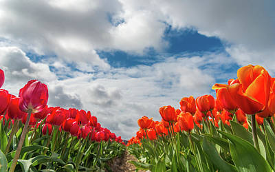 Photograph - Colourful Dutch Tulips by Alexandre Rotenberg