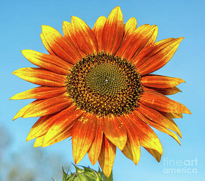 Photograph - Colourful Sunflower by Cheryl Baxter