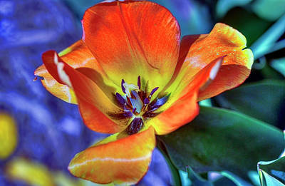 Photograph - Colourful Tulip by Nadia Sanowar