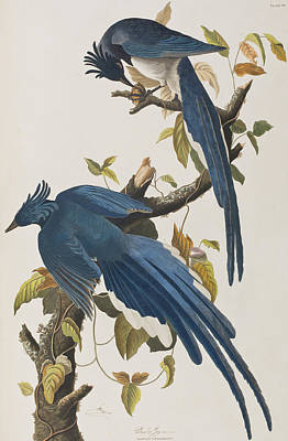 Bluejay Painting - Columbia Jay by John James Audubon