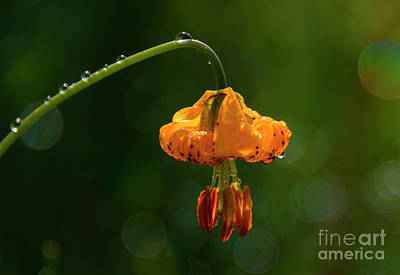Photograph - Columbia Lily With Dew by Mike Dawson