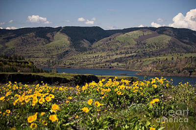 Photograph - Columbia River Gorge Balsam Root by Patricia Babbitt