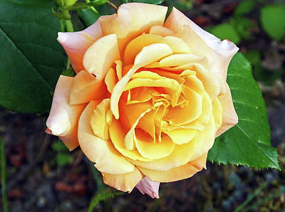 Photograph - Columbia River Gorge Rose by Judy Wanamaker