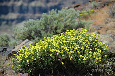 Photograph - Columbia River Ridge Blooms  by Carol Eliassen