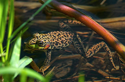 Photograph - Columbia Spotted Frog In Marsh by Sharon Talson