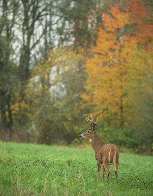 Photograph - Columbia White-tail Buck by Angie Vogel