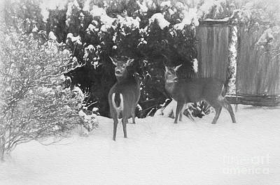 Photograph - Columbian Blacktail Deer In Snow Photoart by Sharon Talson