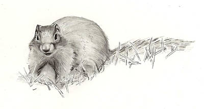 Drawing - Columbian Ground Squirrel by Marsha Karle