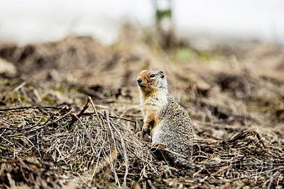 Photograph - Columbian Ground Squirrel by Scott Pellegrin
