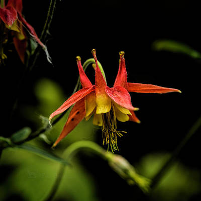 Photograph - Columbine 2016 by Fred Denner
