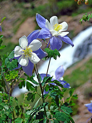 Photograph - Columbine 3 by Diana Douglass