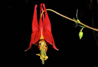 Photograph - Columbine - Aquilegia Canadensis 004 by George Bostian