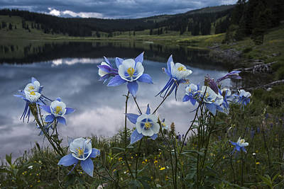 Columbine Blooms In The Rocky Mountains Art Print by Dave Dilli