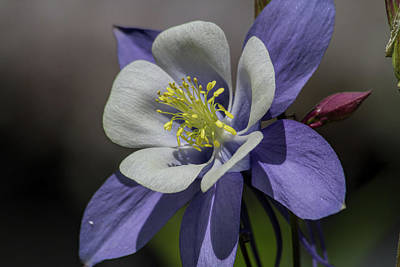 Photograph - Columbine Blues by Alana Thrower