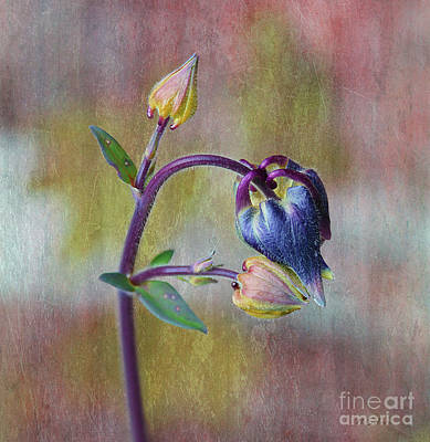 Photograph - Columbine Budding Hue 2 by Nina Silver