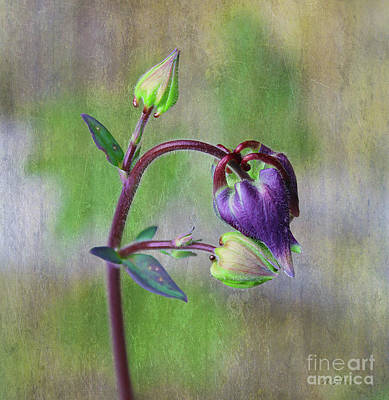 Photograph - Columbine Budding Hue 3 by Nina Silver