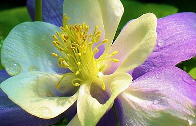Photograph - Columbine Close Up by Bruce Bley