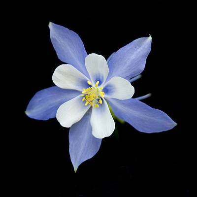 Photograph - Columbine Close-up by Morris  McClung