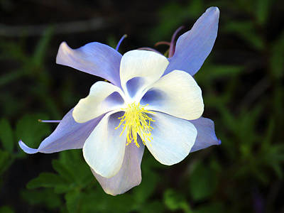 Photograph - Columbine Colorado State Flower by Marilyn Hunt