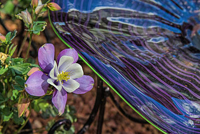Photograph - Columbine Envy by Alana Thrower