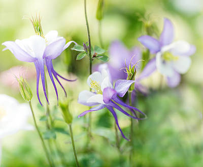 Columbine Photograph - Columbine Fairyland by Rebecca Cozart