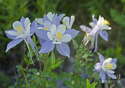 Photograph - Columbine Family by Kelly Black