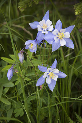 Photograph - Columbine Family by Morris  McClung