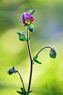 Photograph - Columbine Flower by Christina Rollo