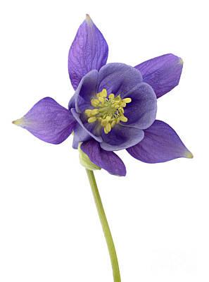 Nightcaps Photograph - Columbine Flower by Marv Vandehey