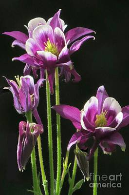 Photograph - Columbine Standouts by Frank Townsley