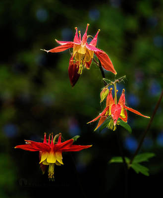 Photograph - Columbine by Fred Denner