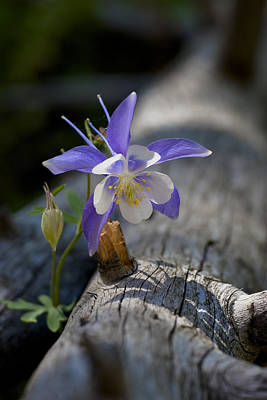 Wall Art - Photograph - Columbine by G Wigler
