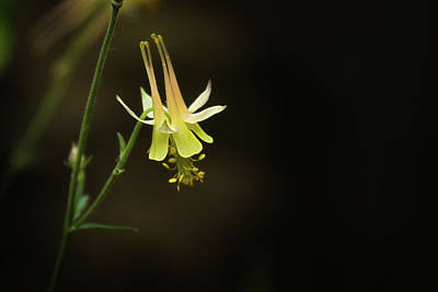 Photograph - Columbine In A Forest Glade by Marie Leslie