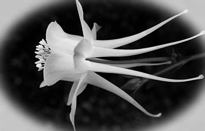 Photograph - Columbine In Black And White by Judy Vincent