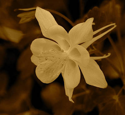 Photograph - Columbine In Sepia by Thomas Samida