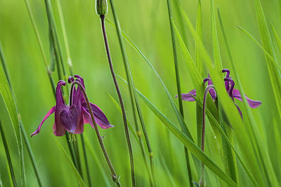 Photograph - Columbine In The Grass by Robert Potts