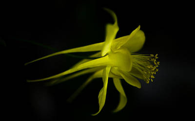 Photograph - Columbine In Yellow by Ronda Broatch