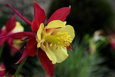 Photograph - Columbine by Judy Vincent