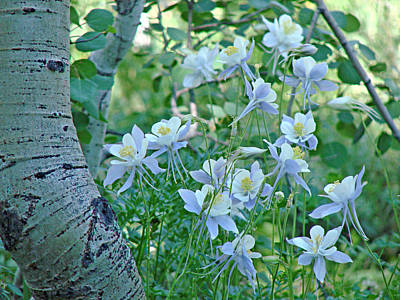 Photograph - Columbine Meadow by Diana Douglass