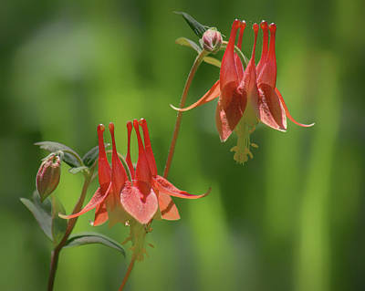 Photograph - Columbine Pair by Nikolyn McDonald