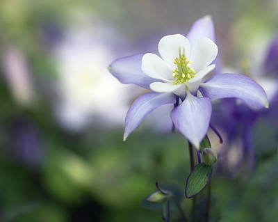 Photograph - Columbine Queen by Rebecca Cozart