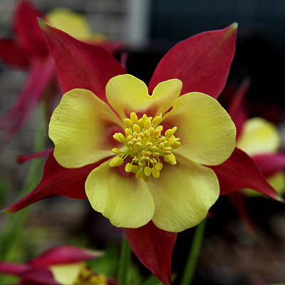 Photograph - Columbine Square by Judy Vincent
