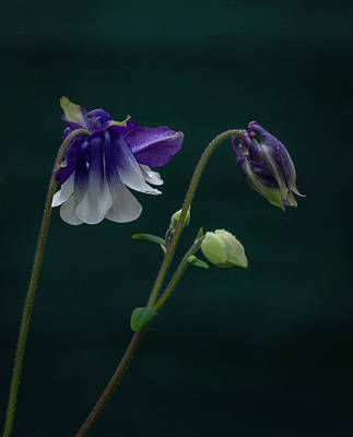 Photograph - Columbine Stages by Jean Noren