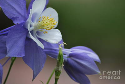 Photograph - Columbine by Terri Oberg