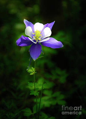 Photograph - Columbine by The Forests Edge Photography - Diane Sandoval