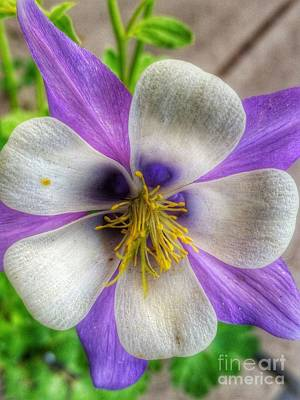 Photograph - Columbine by Tony Baca